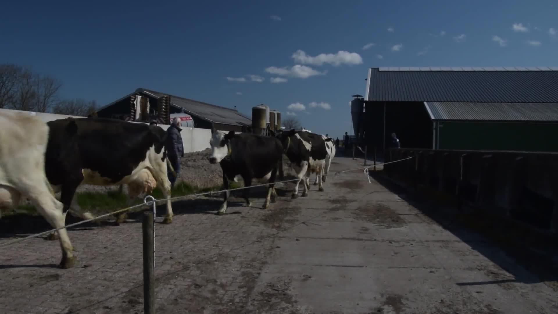 C-TV: Koeien in de wei